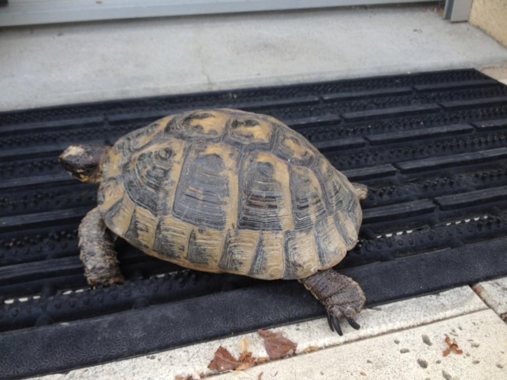 Identification tortue de terre Img_1910