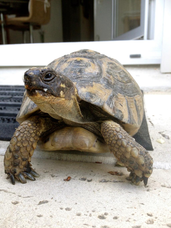 Identification tortue de terre Img_1911