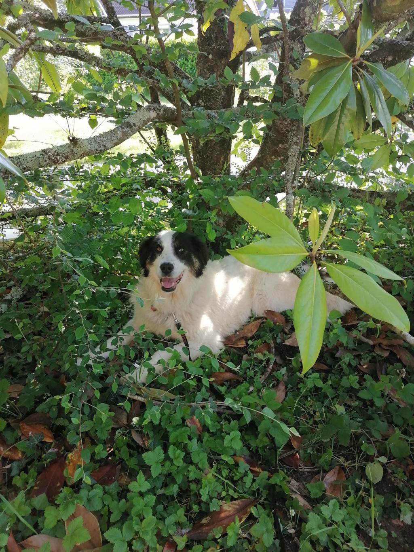 SHANA - femelle, croisée berger de bucovine, de grande taille - née environ en février 2012 - REMEMBER ME LAND - Adoptée par Fabienne (36)  Img_2012