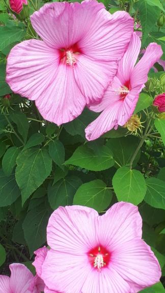 Hibiscus - alle Arten, Zuchtformen ... Erfahrungsberichte, Aussaat und selbstverständlich Bilder :) - Seite 19 20200823