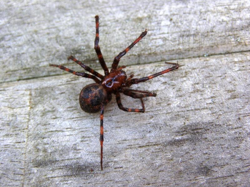 Araignée avec de grandes pattes qui tricotent! Cr_mur12