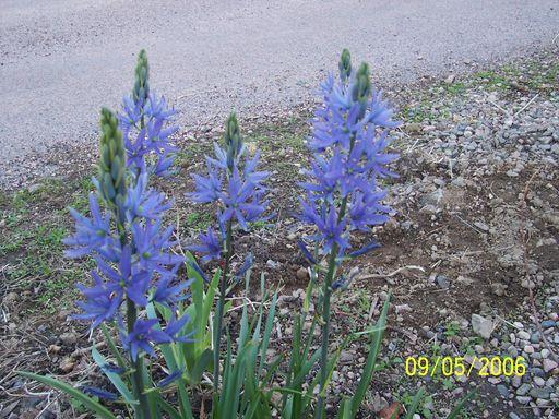 Les fleurs bleues Fleurs16