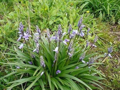 Les fleurs bleues P1010010