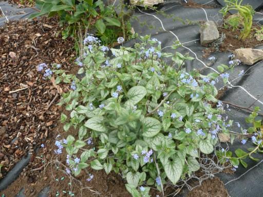 Les fleurs bleues P1020710