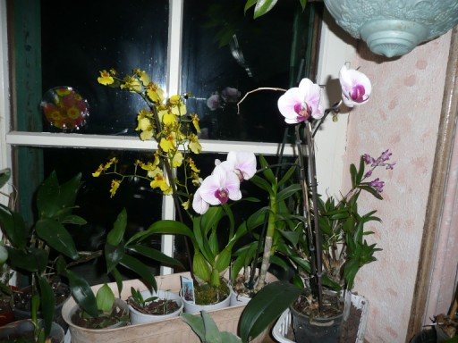orchidees P1030913