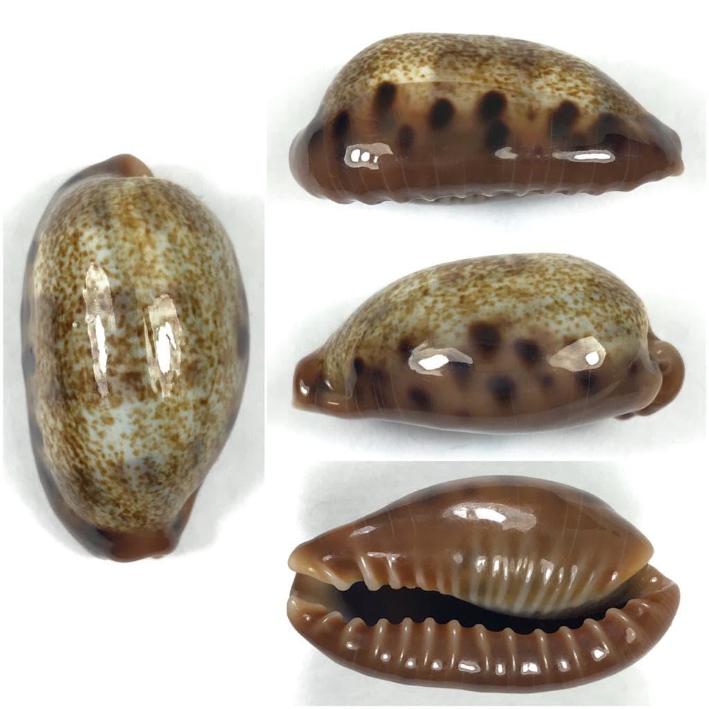 """C.caurica caurica """" nouvelle variété """" ? Cauric12"""