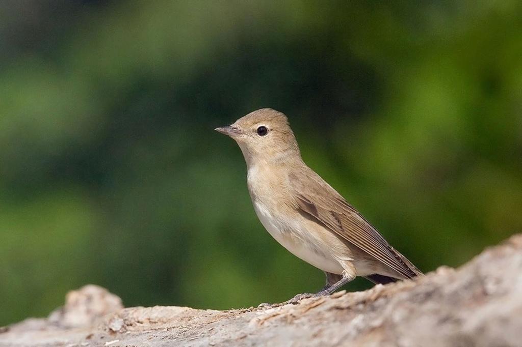 Petit oiseau marron clair Fauvet10