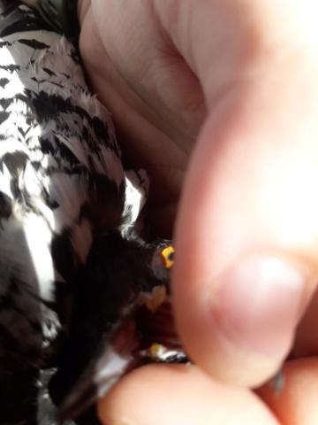 De quoi souffrent mes pigeons ? 20190811
