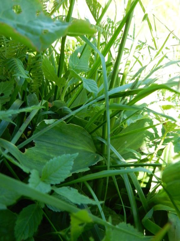 Allium victorialis L 1753 ail des cerfs Dscn6910