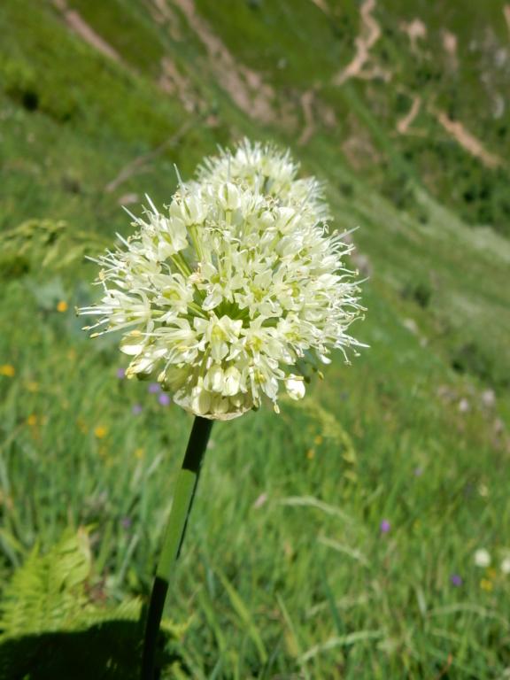 Allium victorialis L 1753 ail des cerfs Dscn6912
