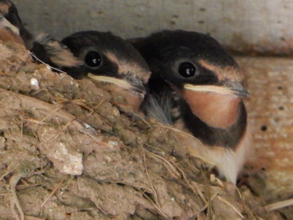 Des locataires saisonniers : hirondelle rustique/ H. rustica Hirond10