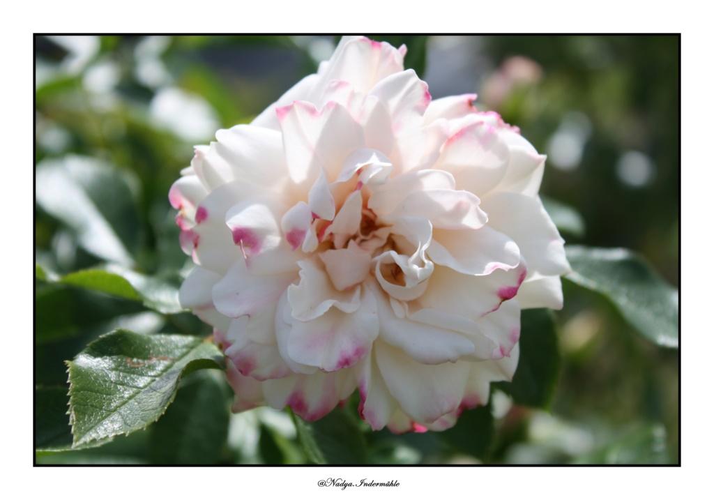 Ma roseraie - Page 2 2015_014