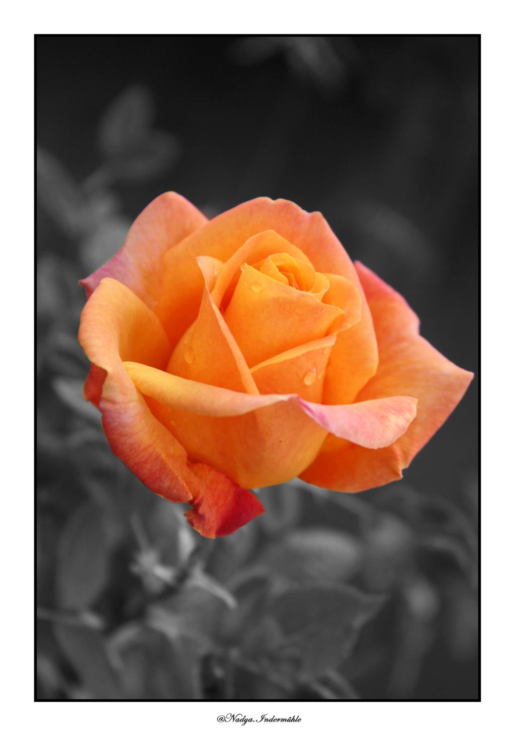 Ma roseraie - Page 2 Avant_10