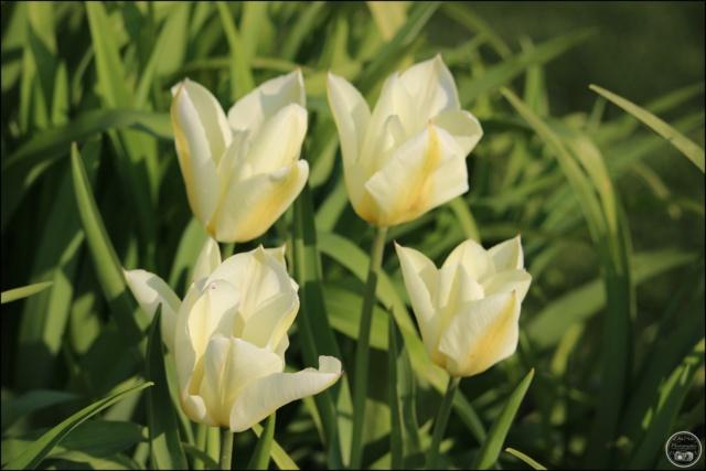 Les tulipes Cadimg17