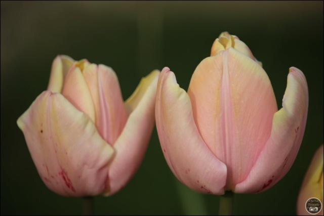 Les tulipes Cadimg24