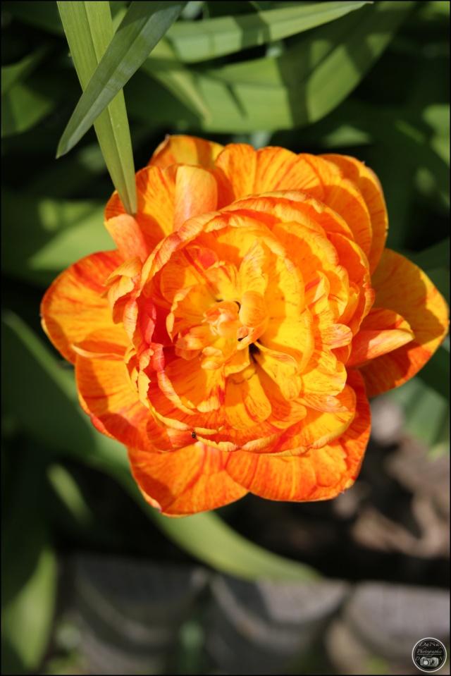 Les tulipes Cadimg27