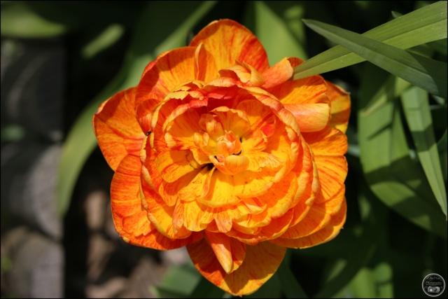 Les tulipes Cadimg29