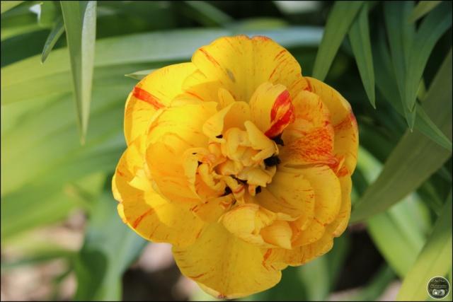 Les tulipes Cadimg30
