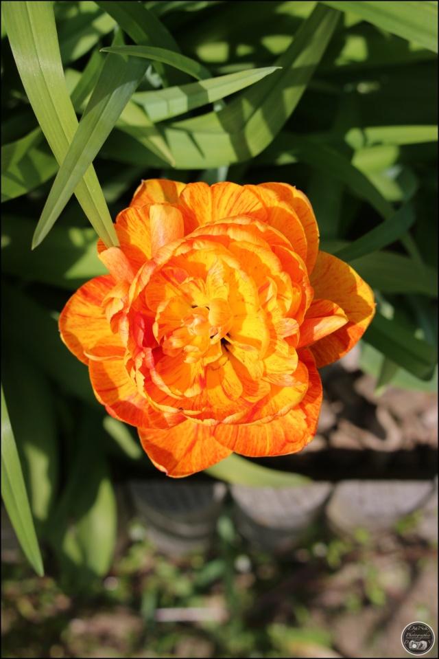 Les tulipes Cadimg31