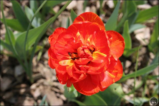 Les tulipes Cadimg32