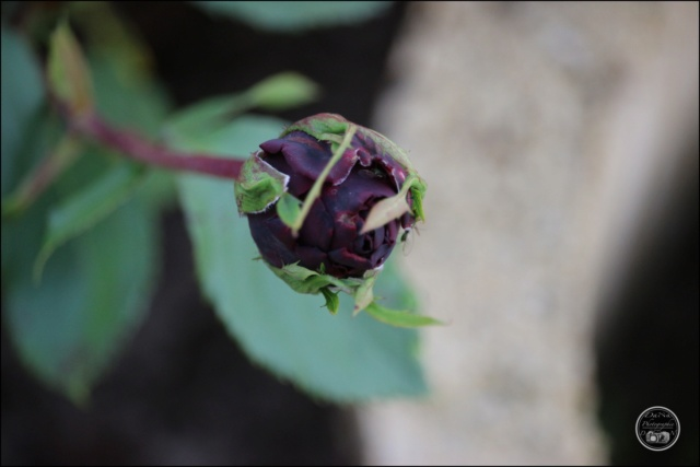 Les roses. Cadimg34
