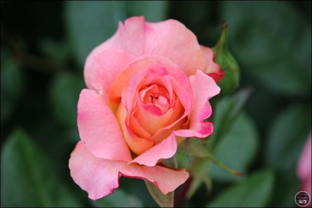 Les roses. Cadimg37
