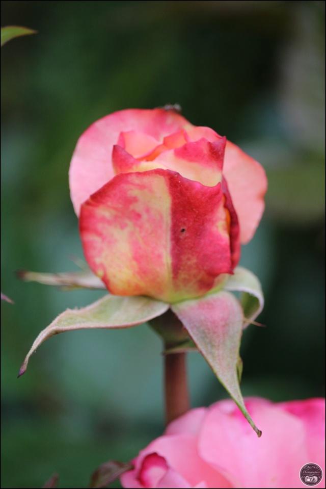 Les roses. Cadimg39