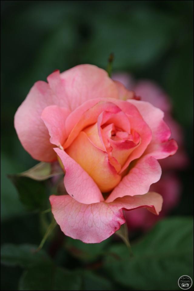 Les roses. Cadimg40