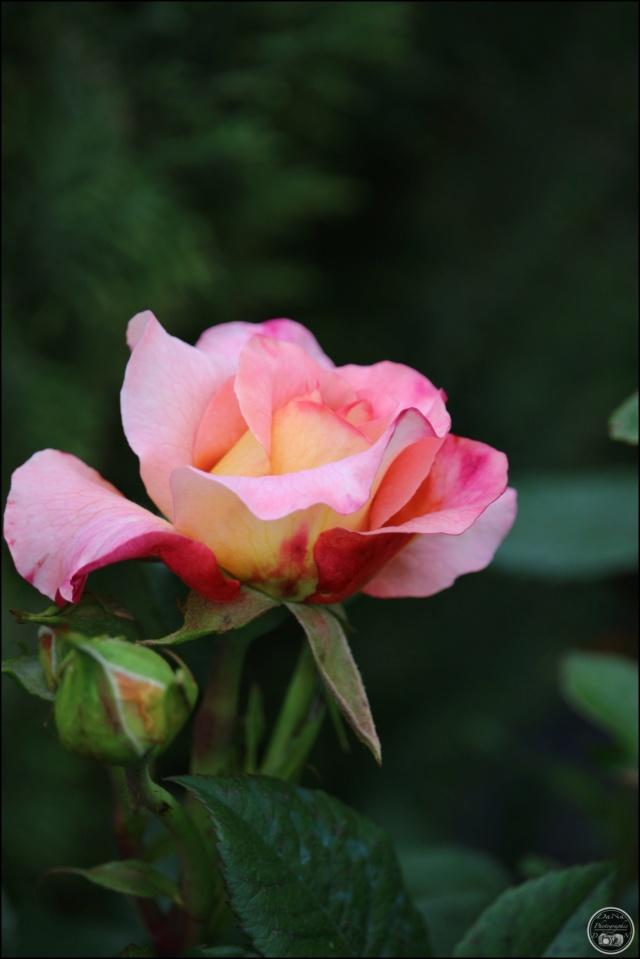 Les roses. Cadimg41