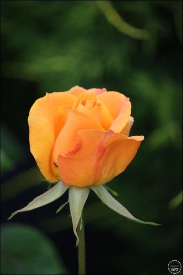 Les roses. Cadimg42