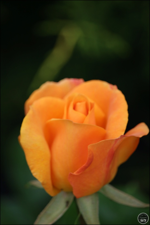 Les roses. Cadimg43