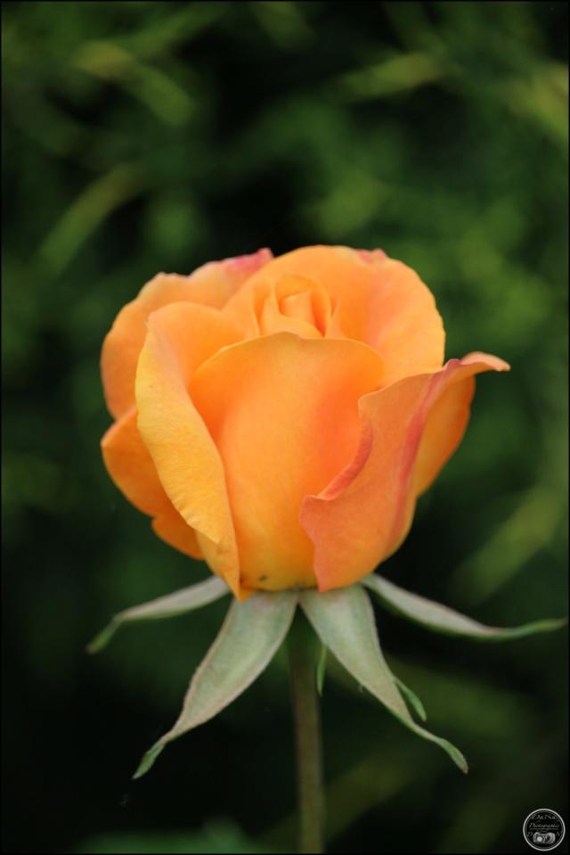 Les roses. Cadimg44
