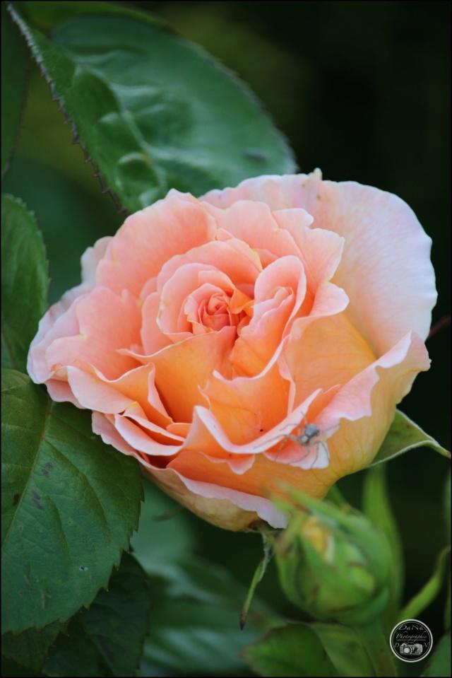 Les roses. Cadimg45