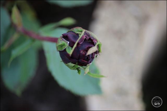 "Rosier, ""Perle Noire"" a grande fleur Cadimg47"