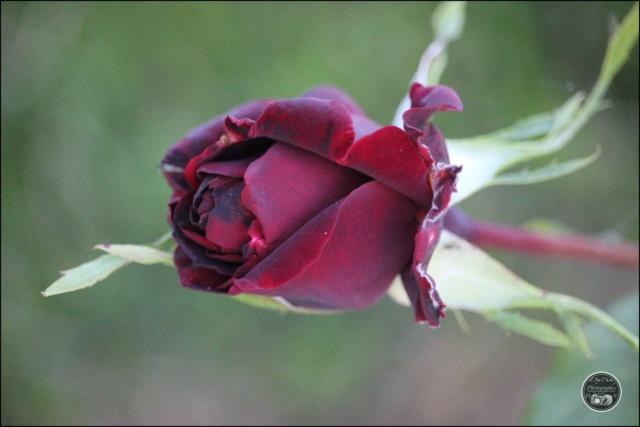 "Rosier, ""Perle Noire"" a grande fleur Cadimg49"