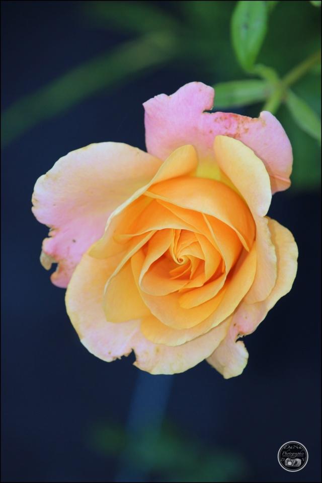 Les roses. Cadimg51
