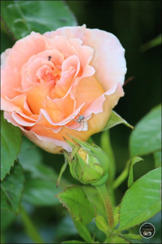 Les roses. Cadimg52