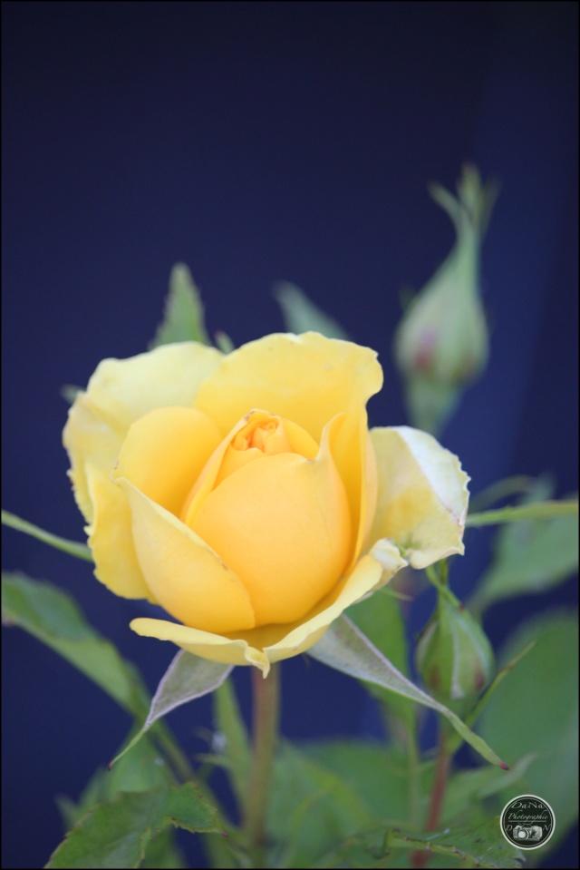 Les roses. Cadimg53