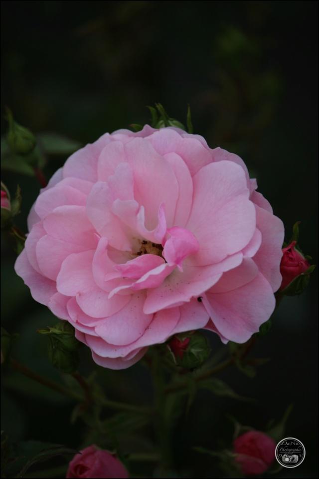 Les roses. Cadimg54