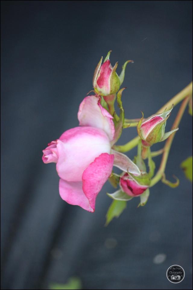 Les roses. Cadimg55
