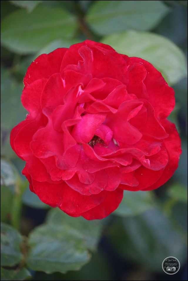 Les roses. Cadimg56