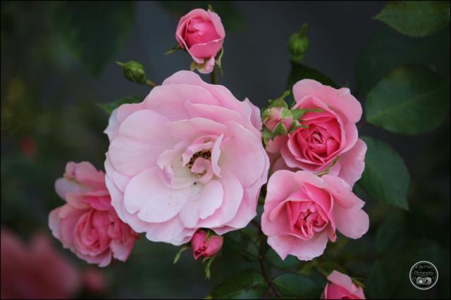 Les roses. Cadimg57