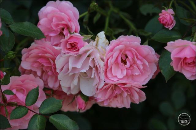 Les roses. Cadimg58