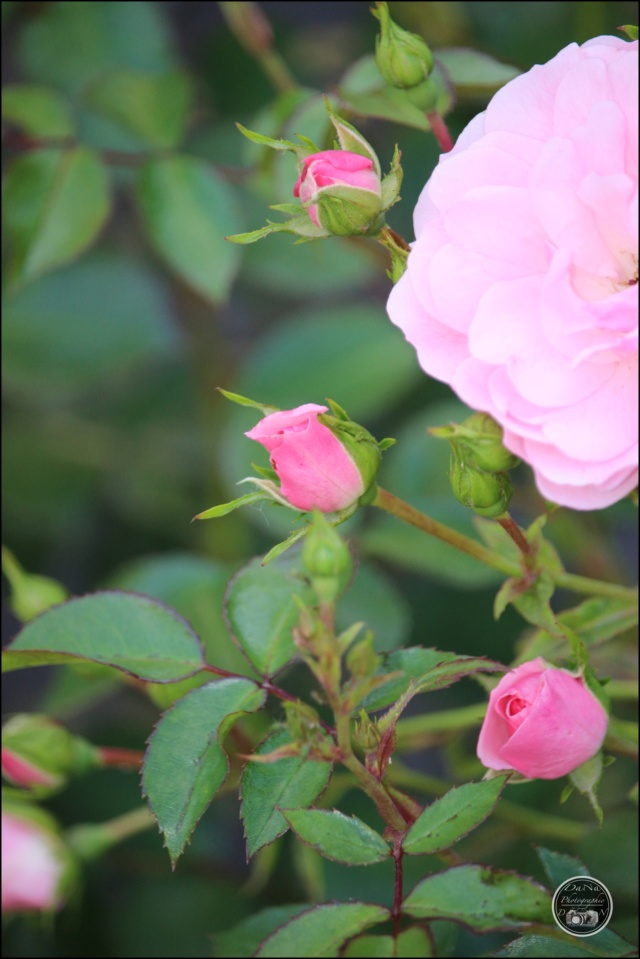 Les roses. Cadimg59
