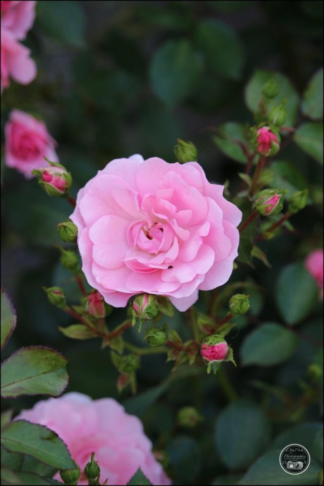 Les roses. Cadimg60