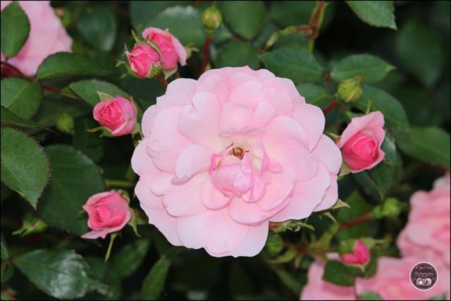 Les roses. Cadimg61