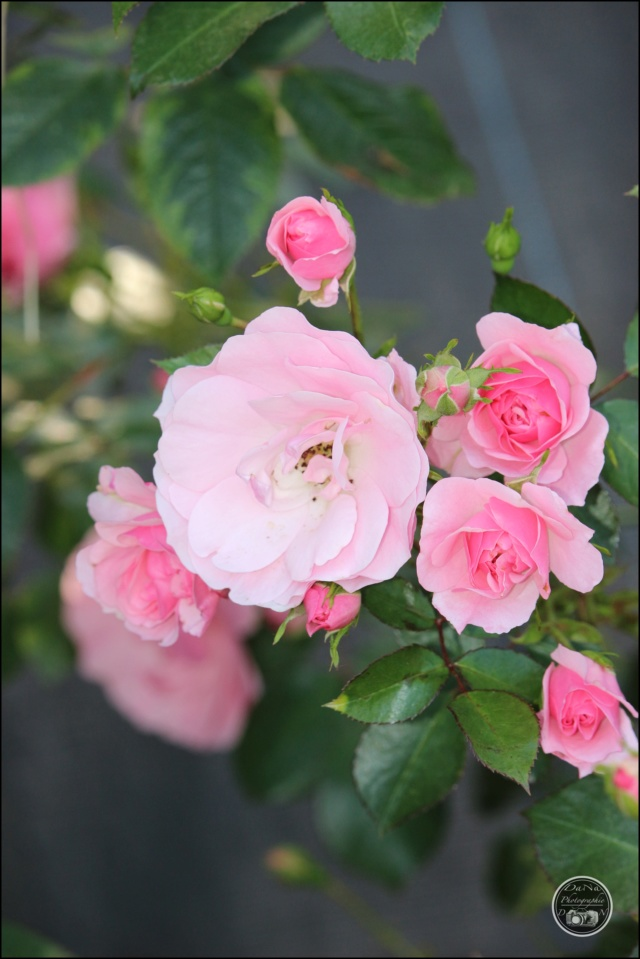 Les roses. Cadimg62