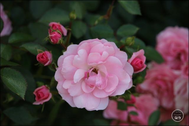 Les roses. Cadimg63