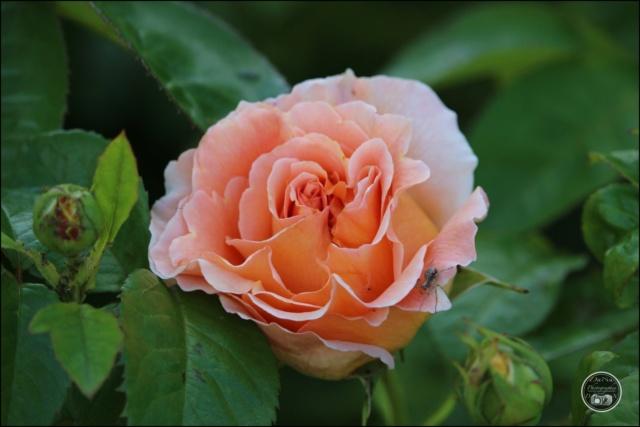 Les roses. Cadimg64