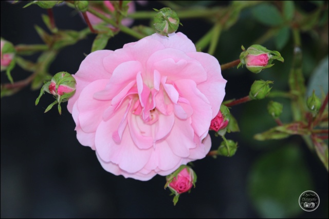Les roses. Cadimg65